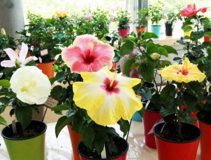 咲くやこの花館ハワイアンボタニカルマーケット